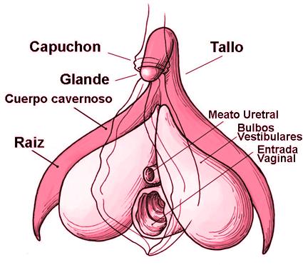 clítoris con todas sus partes, incluido el glande