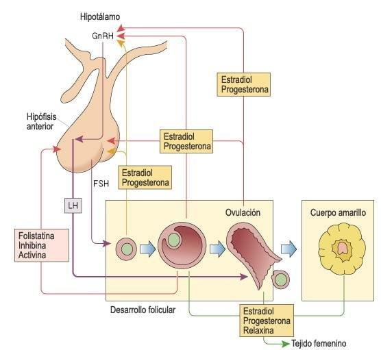 eje hipotalamo progesterona