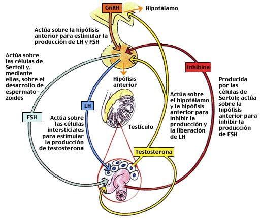 eje hipotalamo testosterona
