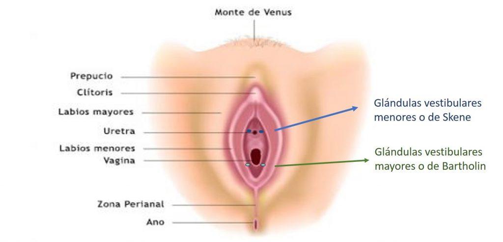 Glándulas vestibulares, se dividen en dos: menores o de Skene y mayores o de Bartholin.