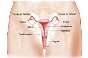 Aparato reproductor interno y externo femenino